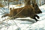 В НСО выращивают кабанов и маралов для охоты